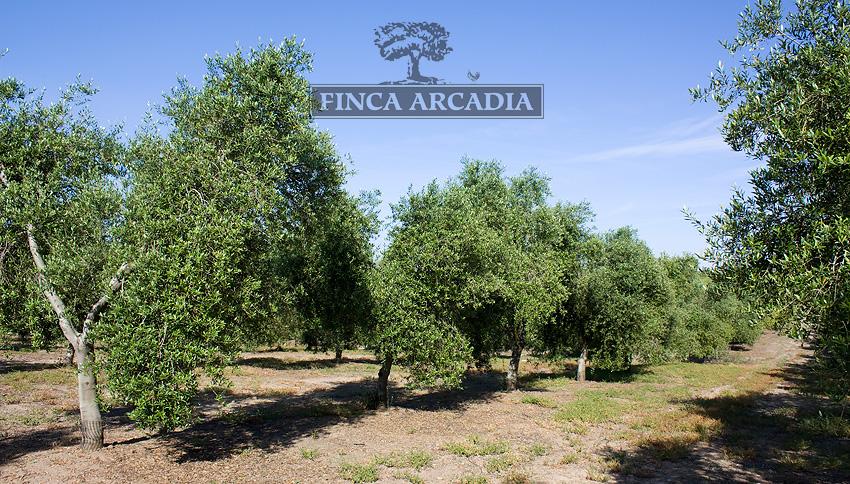 Olivos ecologicos