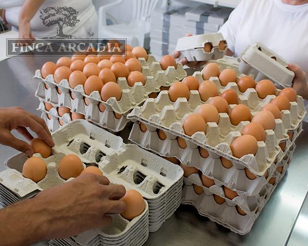 Producción huevos Finca Arcadia